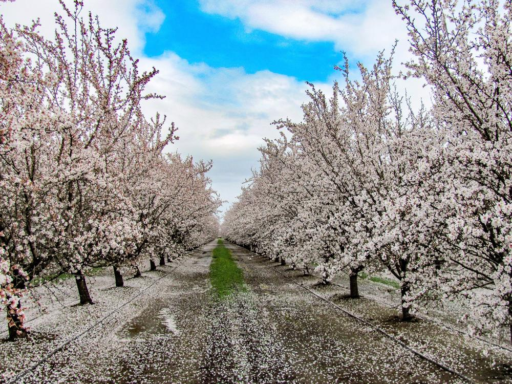 The Late Almond Bloom and the Question of Nutlets 2019 - Ebert Honey
